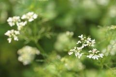 Pequeñas flores blancas en fondo verde borroso imagen de archivo