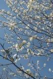 Pequeñas flores blancas en ramas y el cielo azul brillante Fotos de archivo libres de regalías