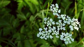 Pequeñas flores blancas Visión superior metrajes