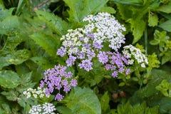 Pequeñas flores blancas y púrpuras en una planta en un bosque Fotografía de archivo