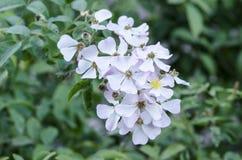 Pequeñas flores blancas y rosadas Foto de archivo