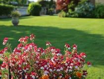 pequeñas flores con los pétalos blancos y rojos Foto de archivo