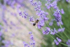 Pequeñas flores de la abeja y de la lavanda Fotos de archivo