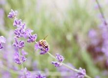 Pequeñas flores de la abeja y de la lavanda Imagenes de archivo