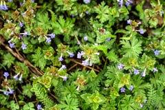 Pequeñas flores de la lila en la opinión superior de la hierba verde imágenes de archivo libres de regalías