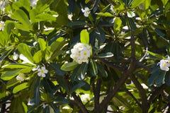 Pequeñas flores de la magnolia en el árbol Fotos de archivo libres de regalías