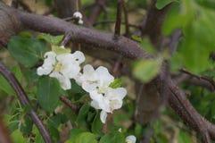 Pequeñas flores de la manzana fotos de archivo