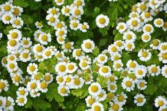 Pequeñas flores de la manzanilla Imagen de archivo libre de regalías