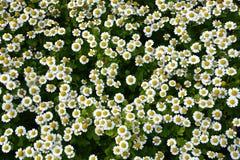 Pequeñas flores de la manzanilla Imagen de archivo