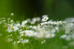 Pequeñas flores de la margarita blanca con una abeja Fotos de archivo libres de regalías