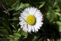 Pequeñas flores de la primavera de Clorful en la sol Imágenes de archivo libres de regalías