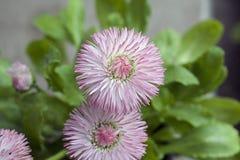 Pequeñas flores de la primavera de Clorful en la sol Fotos de archivo libres de regalías