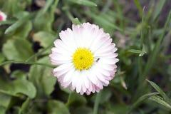 Pequeñas flores de la primavera de Clorful en la sol Fotografía de archivo