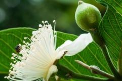 Pequeñas flores del árbol de la guayaba y abejas en luz natural Imagen de archivo