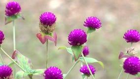 Pequeñas flores del amaranto metrajes