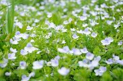 Pequeñas flores del resorte e hierba verde Imagen de archivo libre de regalías