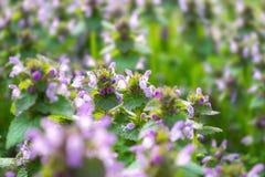 Pequeñas flores del resorte Flores rosadas del resorte Flores en el prado Fotos de archivo libres de regalías