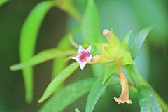 Pequeñas flores en el jardín en Tailandia Foto de archivo libre de regalías