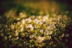 Pequeñas flores florecientes Imagen de archivo libre de regalías