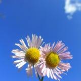 Pequeñas flores hermosas blancas en fondo claro de cielo azul Foto de archivo libre de regalías
