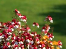 Pequeñas flores hermosas con los pétalos blancos y rojos Fotografía de archivo libre de regalías