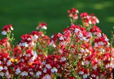 Pequeñas flores hermosas con los pétalos blancos y rojos Fotos de archivo libres de regalías