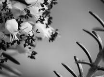 pequeñas flores lindas de la planta del brezo en cierre blanco y negro de la macro para arriba Fotografía de archivo