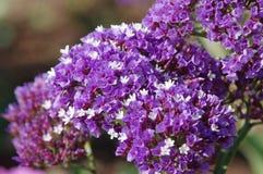 Pequeñas flores púrpuras Foto de archivo libre de regalías