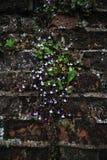 Pequeñas flores púrpuras atadas en la pared de ladrillo Imagen de archivo