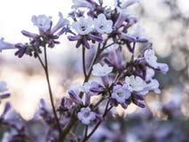 Pequeñas flores púrpuras dulces Fotografía de archivo libre de regalías