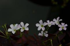 Pequeñas flores púrpuras suaves en fondo oscuro fotografía de archivo