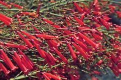 Pequeñas flores rojas Foto de archivo