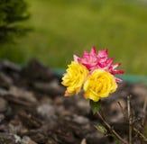 Pequeñas flores rosadas de las rosas del arbusto del andyellow Flores multicoloras Foto de archivo