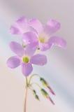 Pequeñas flores rosadas de Oxalis flores rosadas macras Foto de archivo libre de regalías