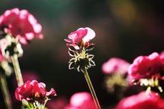 Pequeñas flores rosadas soleadas en el prado Foto de archivo libre de regalías