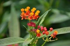 Pequeñas flores rosadas y anaranjadas con las hojas imágenes de archivo libres de regalías