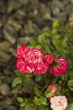 Pequeñas flores rosadas y rojas de las rosas del arbusto Flores multicoloras Fotografía de archivo