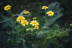Pequeñas flores salvajes amarillas Fotografía de archivo libre de regalías