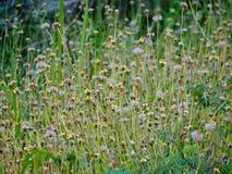 Pequeñas flores salvajes en jardín Fotografía de archivo