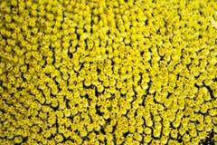 Pequeñas flores texturizadas del girasol Fotografía de archivo libre de regalías