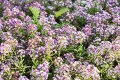 Pequeñas flores violetas Fotografía de archivo libre de regalías