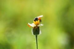 Pequeñas flores y abeja del primer en el prado Fotografía de archivo libre de regalías