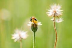Pequeñas flores y abeja del primer en el prado Foto de archivo libre de regalías