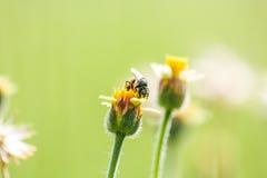 Pequeñas flores y abeja del primer en el prado Imagenes de archivo
