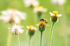 Pequeñas flores y abeja del primer en el prado Imagen de archivo