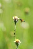 Pequeñas flores y abeja del primer en el prado Foto de archivo