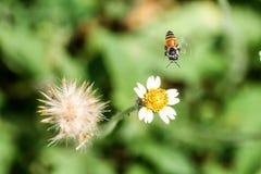 Pequeñas flores y abeja del primer en el prado Fotos de archivo