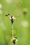Pequeñas flores y abejas del primer en el prado Imagenes de archivo