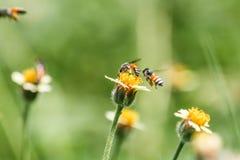 Pequeñas flores y abejas del primer en el prado Foto de archivo libre de regalías