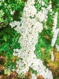 Pequeñas flores y hojas blancas del verde en Bush Imagen de archivo